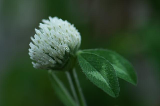 白花アカツメグサ-03