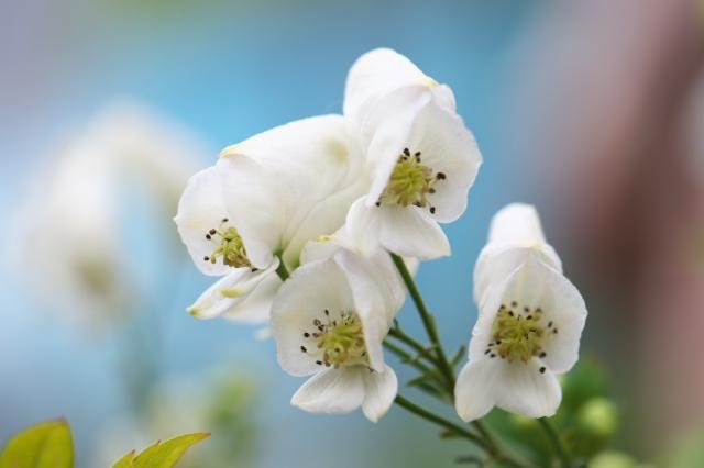 白花トリカブト-01