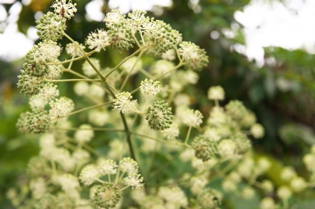山ウドの花-02