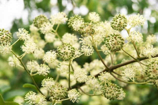 山ウドの花-03
