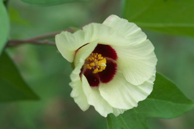 綿の花-02