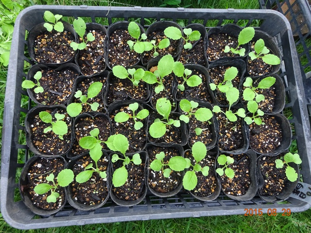 90日白菜の育苗中