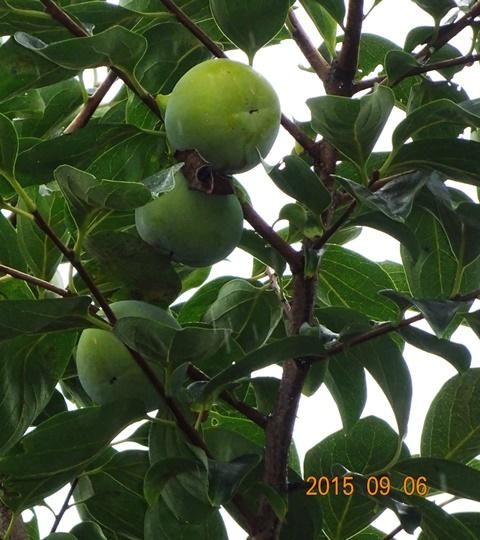 木の上のほうに実った柿は大きい