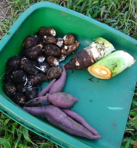 試掘りした野菜