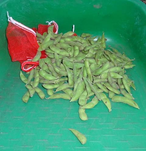 収穫した枝豆状態の大豆