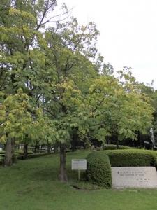 パリから贈られたマロニエの樹