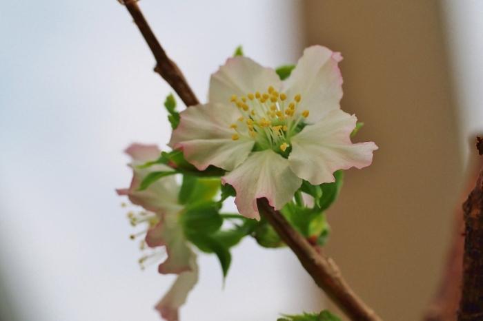 さくらんぼの花 1