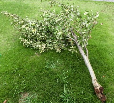 折れたリンゴの木
