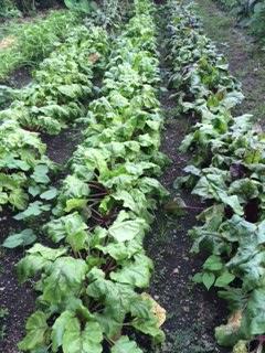 夏の野菜畑