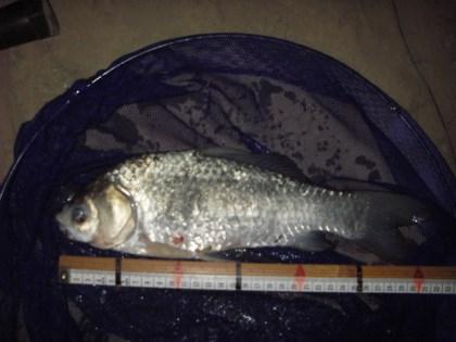 坂川 マブナ 32cm 今年坂川の初魚