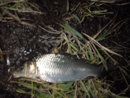 中川の鯉っ子