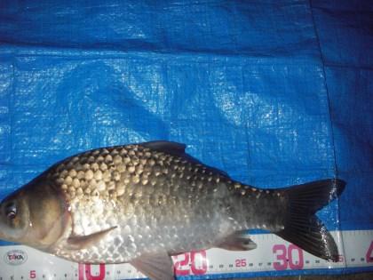 中川 鯉ベラ 36cm