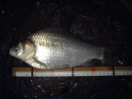 中川 ヘラブナ 28cm