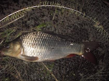 中川 鯉 37cm