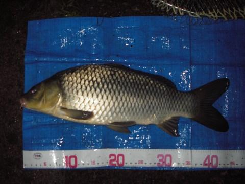中川 鯉 44cm