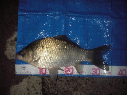 中川 鯉ベラ 35cm