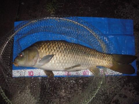 中川 鯉 64cm ダンゴ