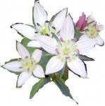 「センブリ」の花 可愛らしい花を見つけました。