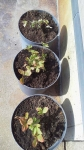 2015年10月ワイルドストロベリー植え直し