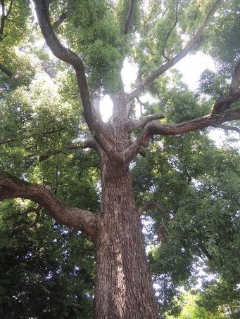 くすの樹3