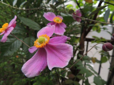 秋明菊027