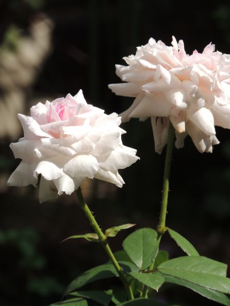 くまのバラ019