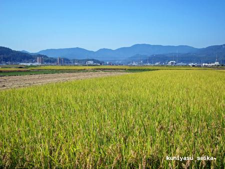 稲刈り2015-1