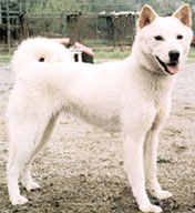 Korean_Jindo_Dog.jpg