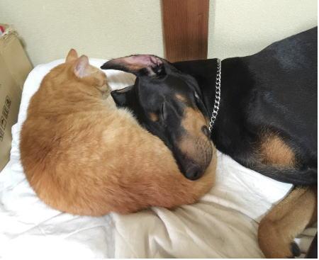 ドーベルマンと猫.jpg