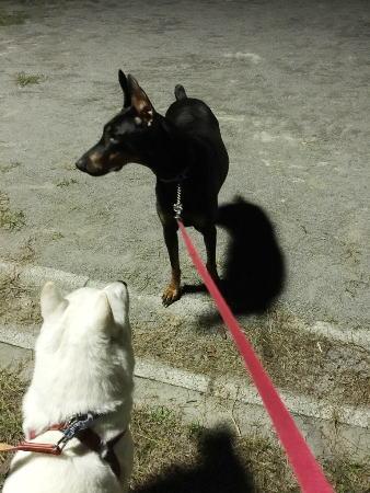 ドーベルマンと北海道犬.jpg