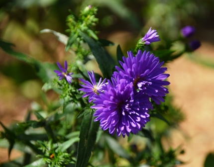 15asterpurple0922C_5705.jpg