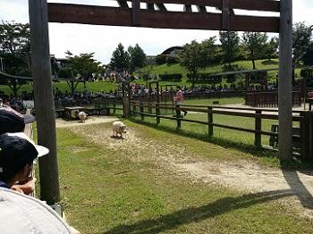 豚レース2
