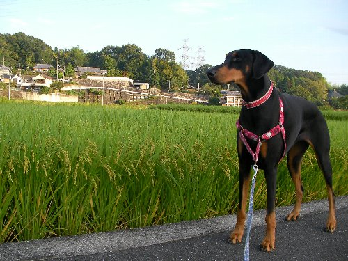 201509150640早朝散歩⑳-1