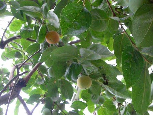 201509080706庭の柿②