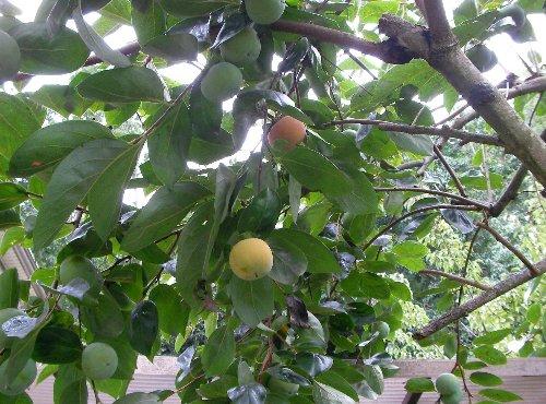 201509080706庭の柿①