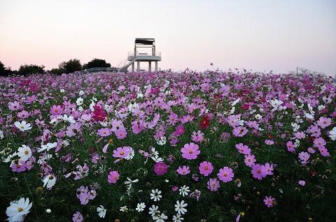 2015中尾山コスモス
