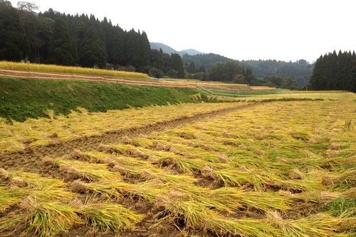 271010 稲刈り2