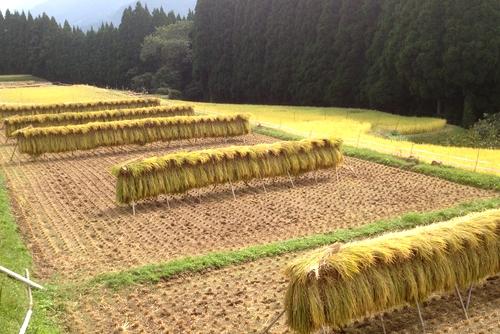 271010 稲刈り4