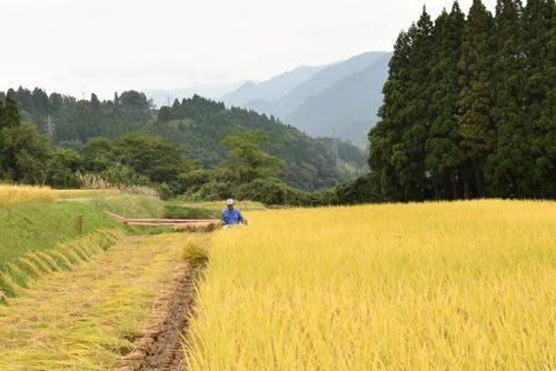 271010 稲刈り6