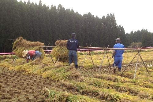 271010 稲刈り8