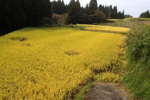 271010 稲刈り7
