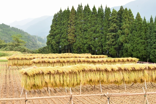 271010 稲刈り9