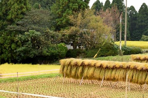 271010 稲刈り11