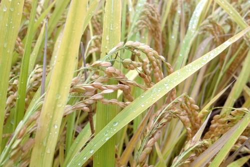 271011 稲刈り1