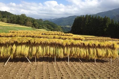 271011 稲刈り5