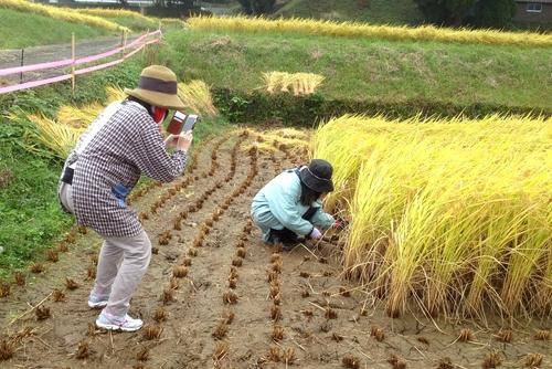 271011 稲刈り2