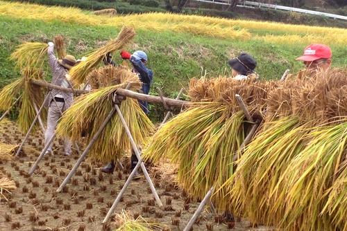 271011 稲刈り4