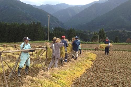271011 稲刈り8