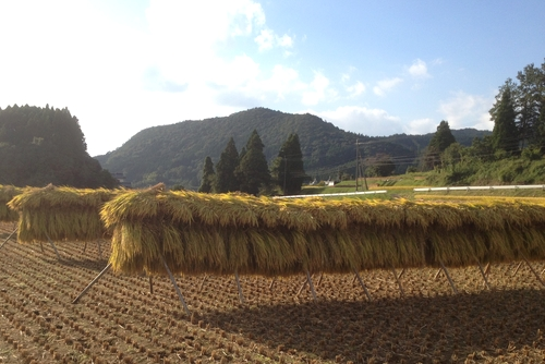 271011 稲刈り9