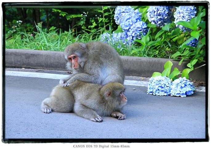 津軽半島竜飛崎あじさいロードの猿1508aomori0208.jpg